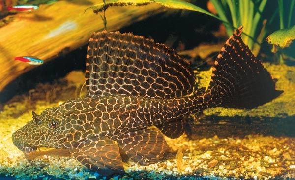 Аквариумная рыбка анциструс