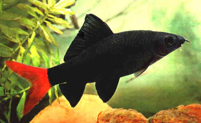 Лабео двухцветный - аквариумная рыбка из семейства карповых.