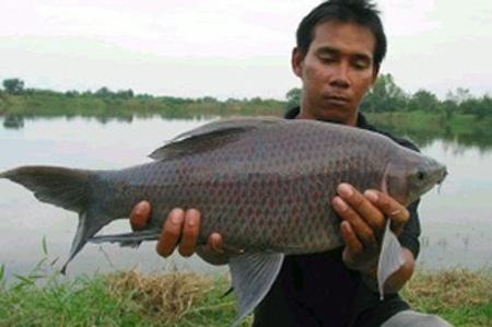 Лабео черный - довольно крупная рыба.