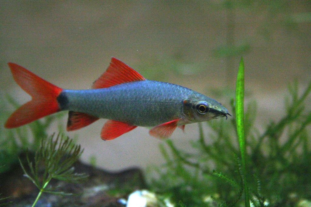 Лабео зеленый - Аквариумная рыбка из семейства карповых